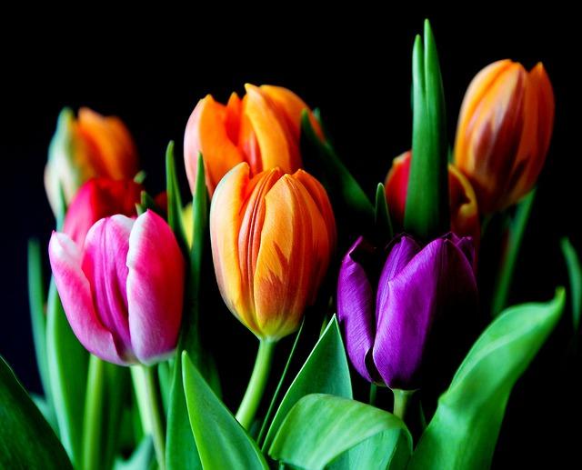 řezané tulipány