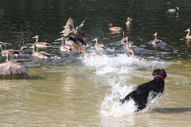 pes honí kachny