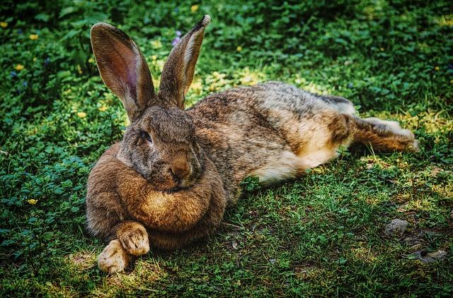 ležící zajíc