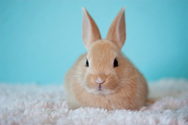 zrzavý králíček