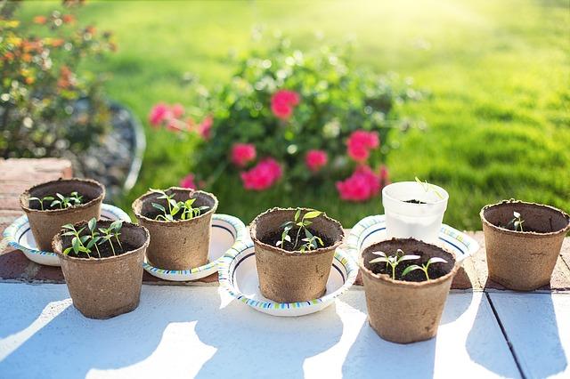 sazeničky, mladé rostliny v květináčích